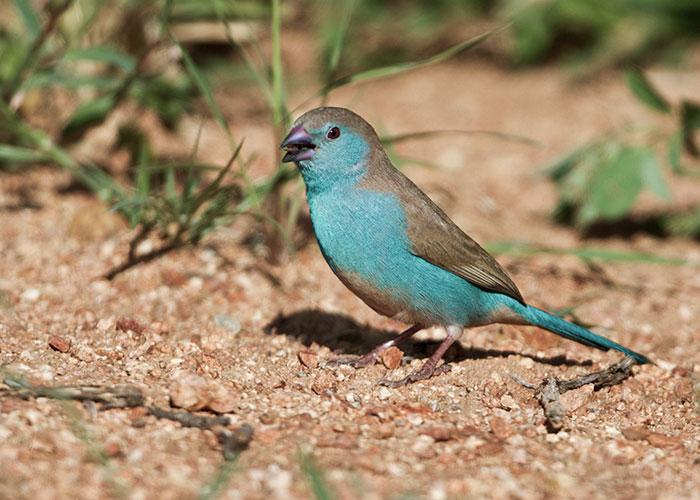 Sango-Bird