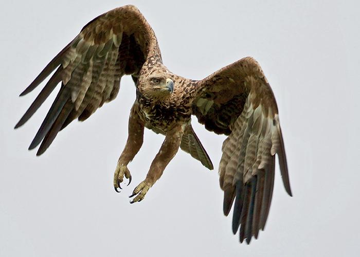 Sango-Eagle