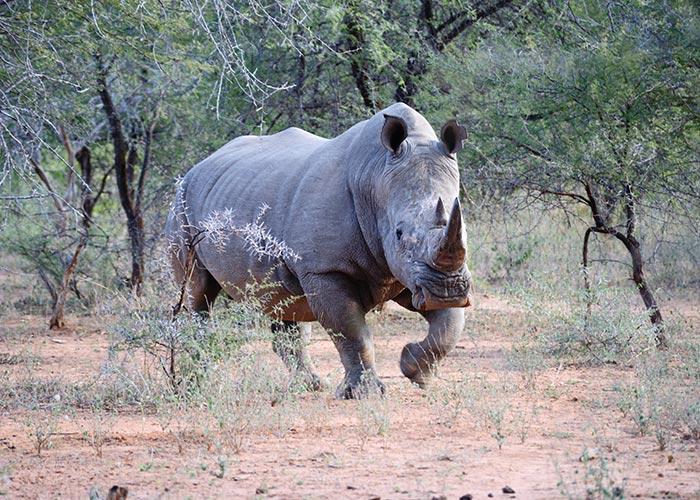 Sango_Rhino