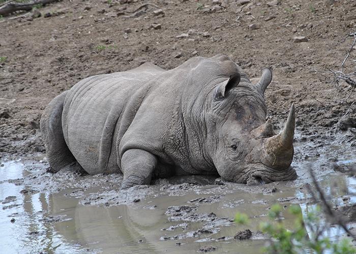 Sango_Rhino_2